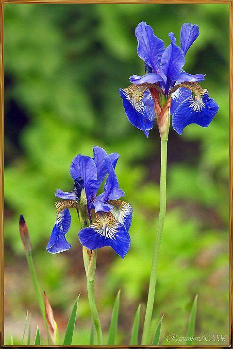 Цветы, Ирисы, Anjelochka