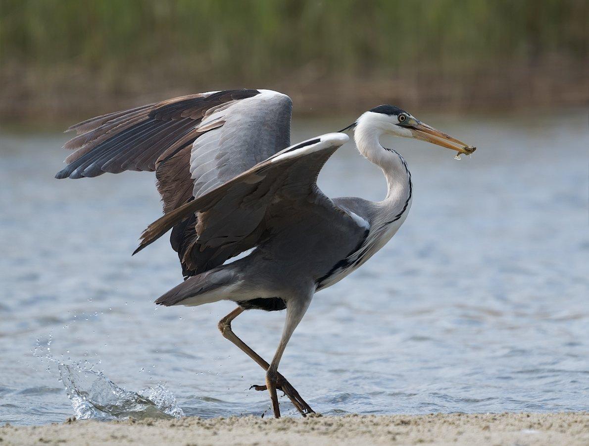 природа, птицы, цапля, охота, мелкая рыбка, Александр Смолкин