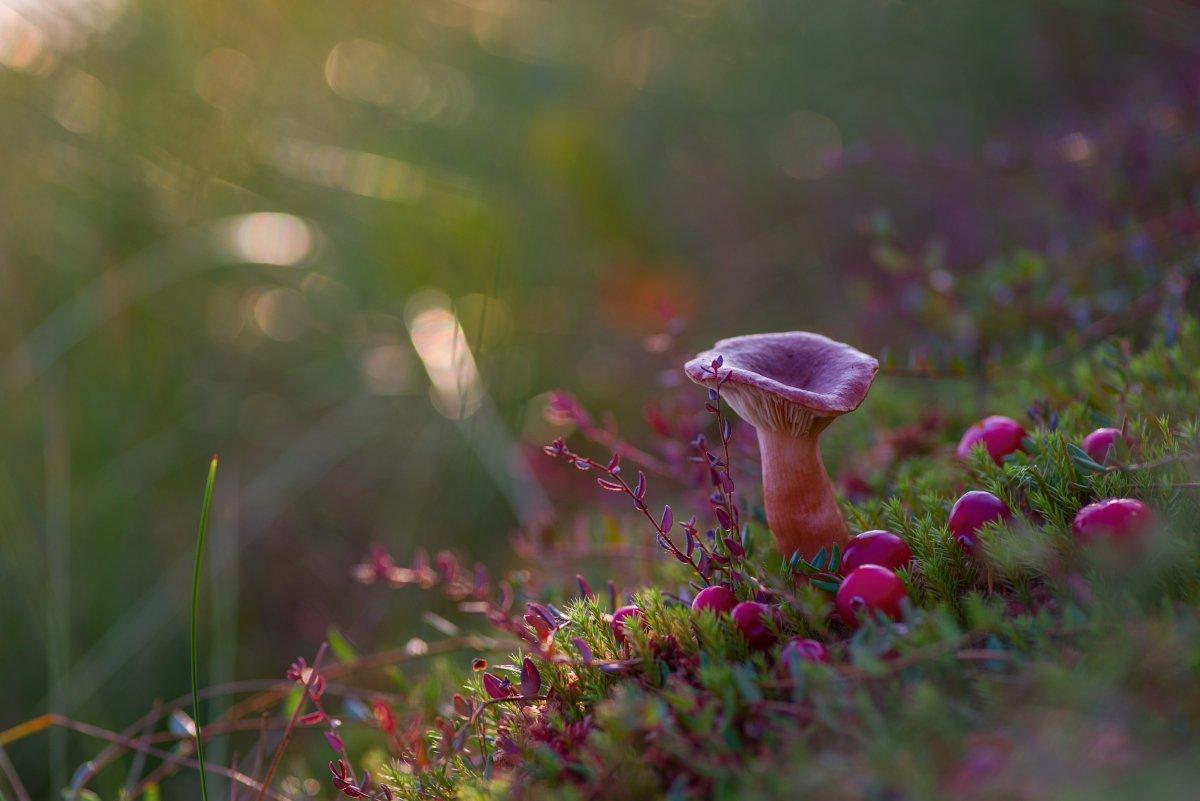 гриб, сухарка, клюква, болото, осень, кочка, Марина Мурашова