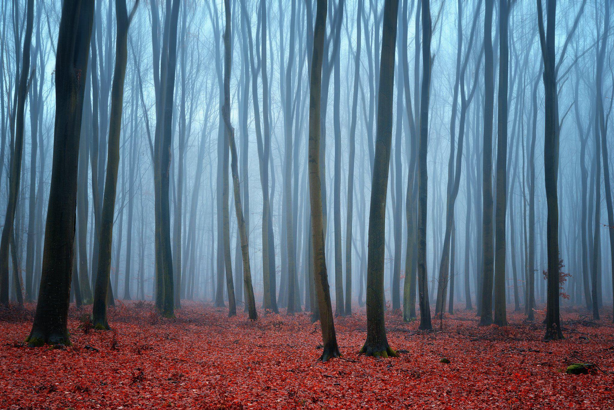 утро в буковом лесу beech forest mist foggy morning magic trees minimalism dranikowski nature деревья, Radoslaw Dranikowski
