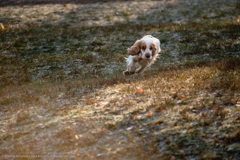 animal, autumn, dog, morning, nature, park, runner, running, spaniel, sport, бег, бегун, животное, осень, парк, природа, пёс, собака, спаниель, спорт, утро, Ковалёв Максим