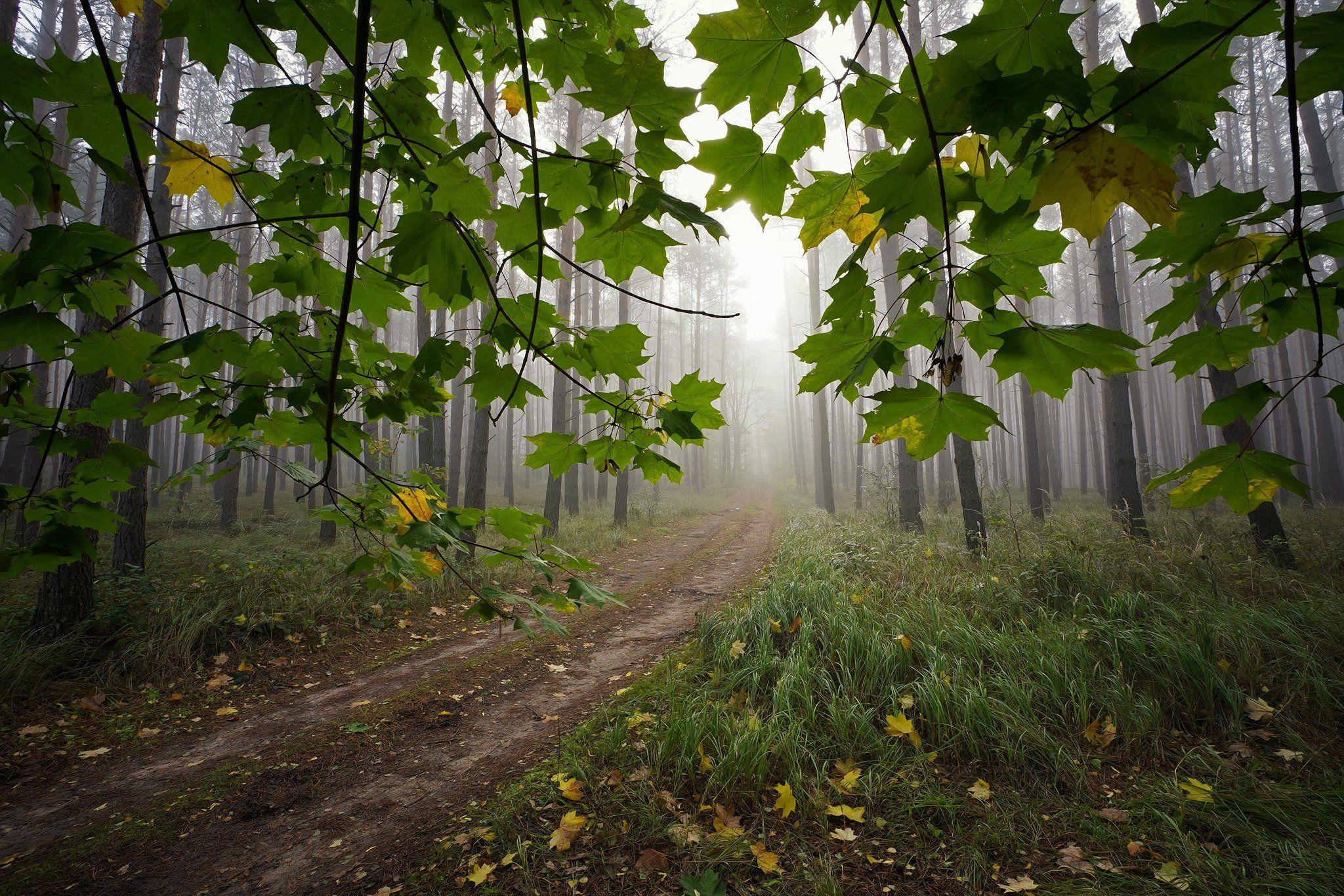 под кленом path road magic mist foggy morning trees forest wood nature naturallight tree green autumn las, Radoslaw Dranikowski