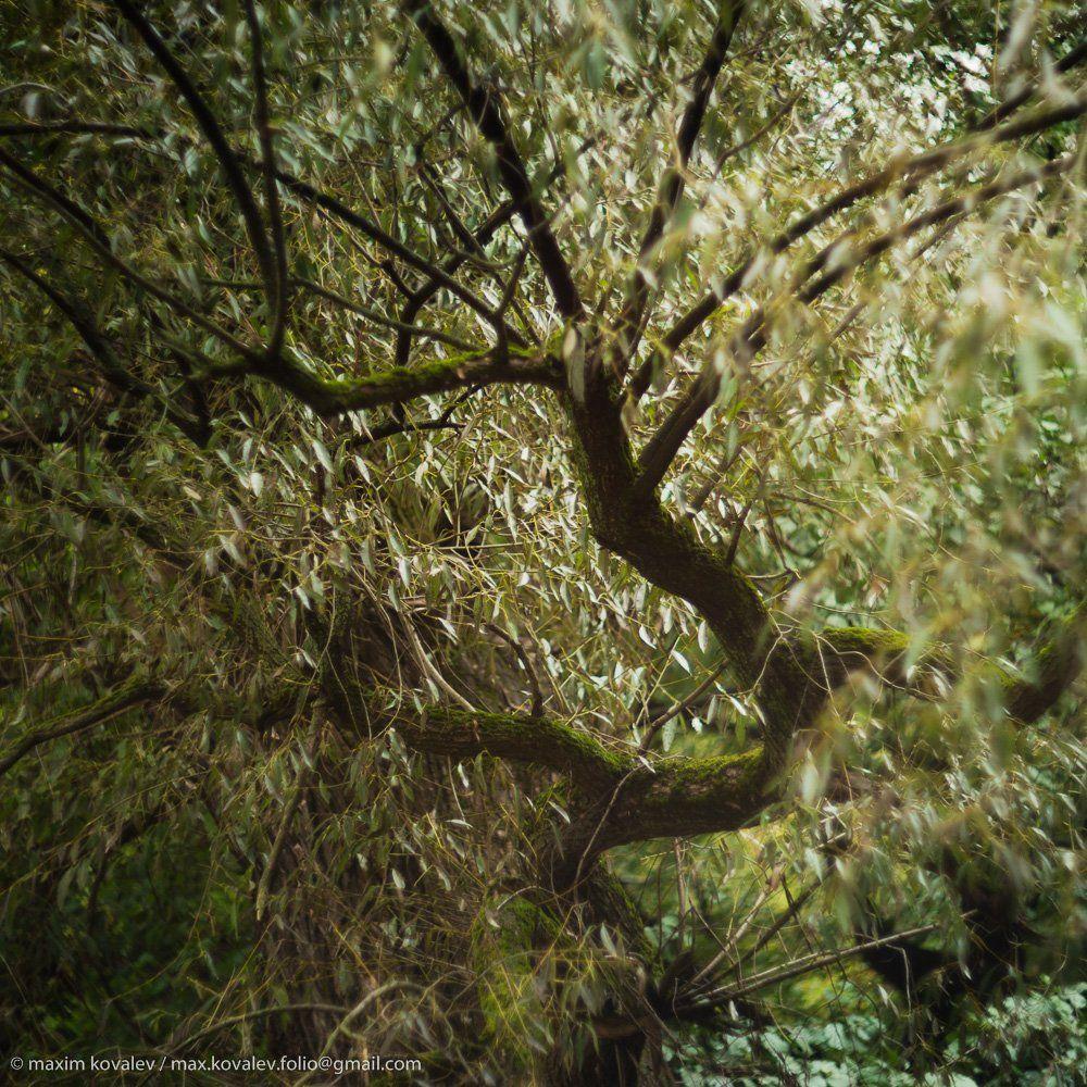 autumn, branch, foliage, forest, leaf, leaves, nature, park, plant, tree, willow, ветка, дерево, ива, лес, лист, листва, листья, осень, парк, природа, растение, Ковалёв Максим