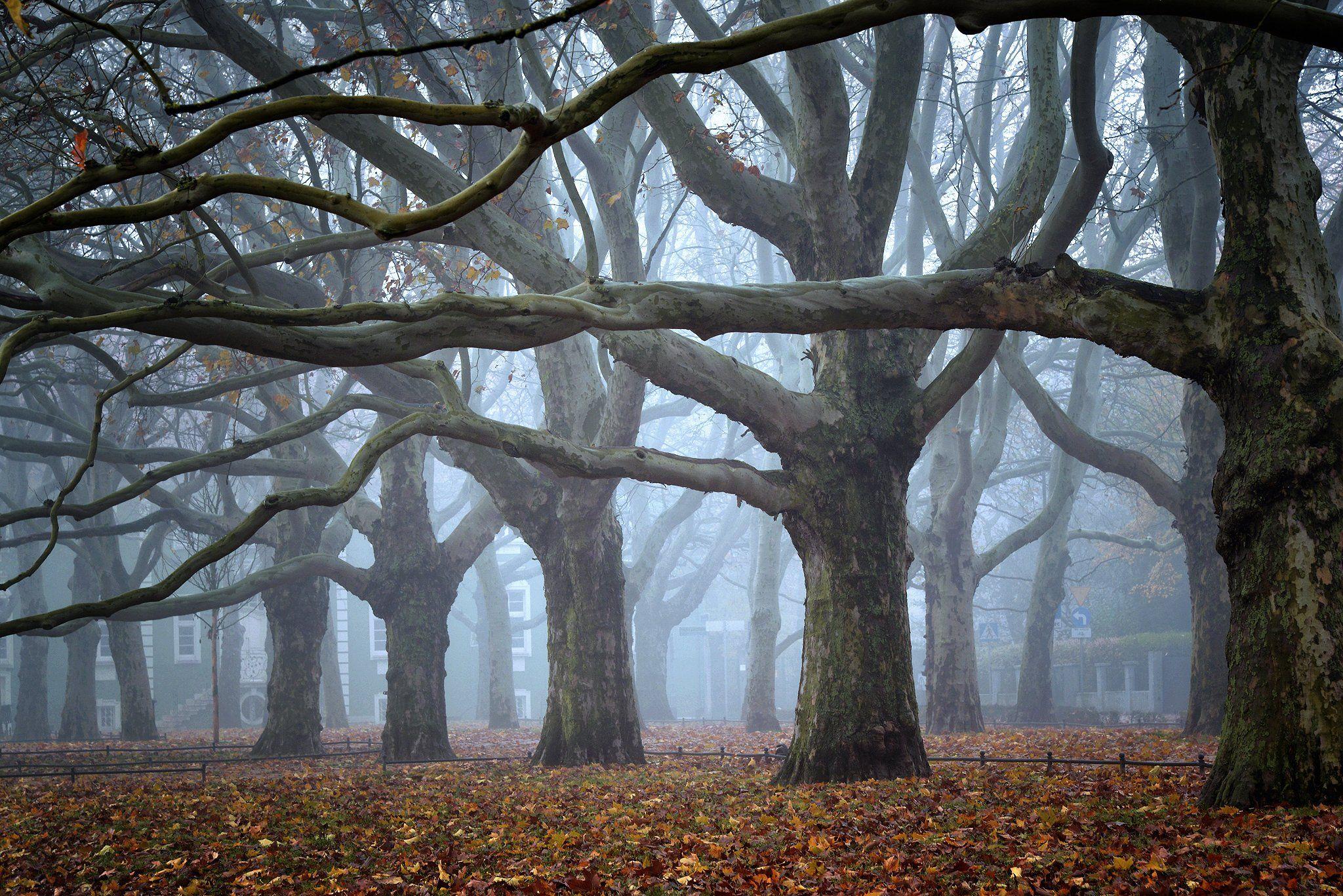 платаны trees magic mist morning tree foggy fog nature path autumn fall poland, Radoslaw Dranikowski