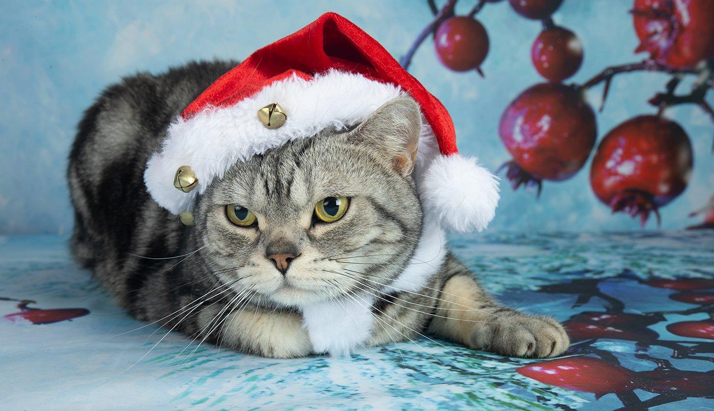 сat, кошка, животные, кошки,американский короткошерстный кот, american shorthair cat,  новый год, праздник, Elizabeth E
