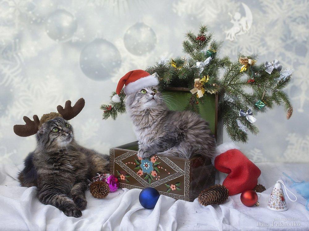 забавные животные, Рождество, Новый год, рождественские открытки, постановочное фото, праздник, кошки, Приходько Ирина