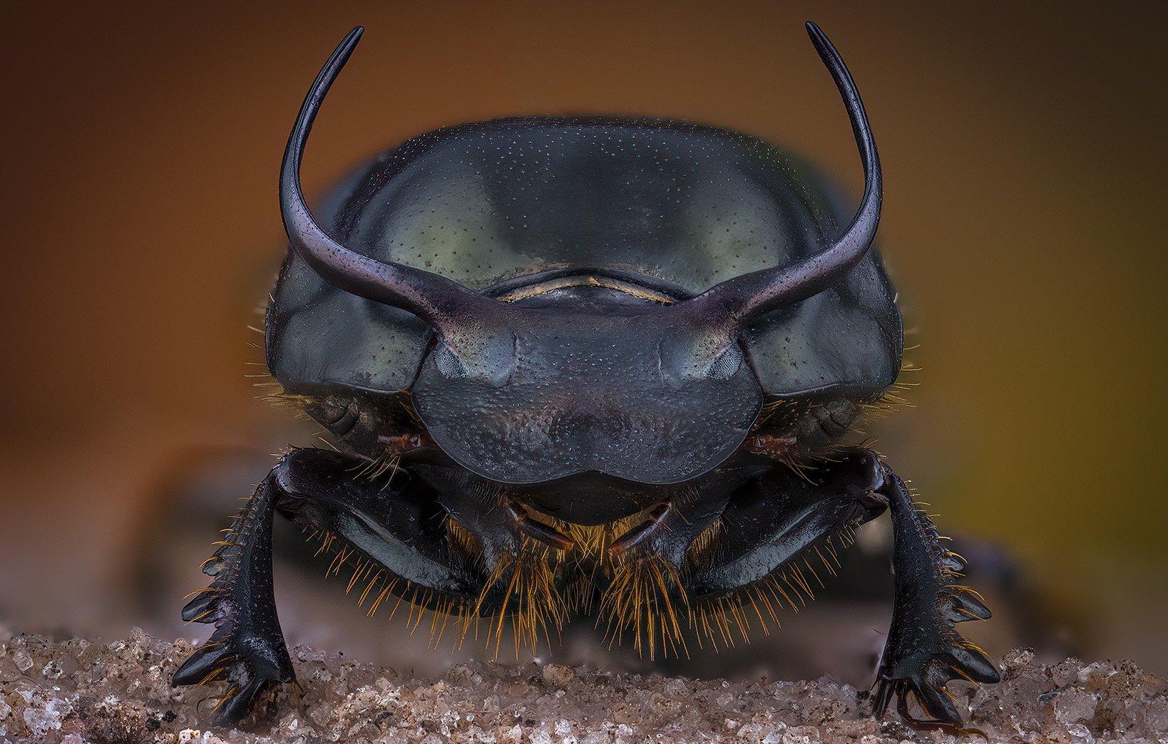 coleoptera, scarabaeidae, onthophagus taurus, Eugenijus Kavaliauskas