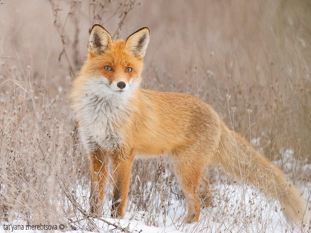 fox, my-mriya, mymriya, wildlife,, Татьяна Жеребцова