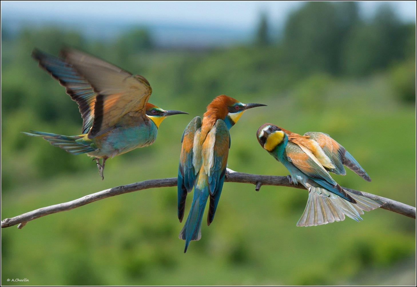 птицы,щурки,три,грации, Александр Чувилин
