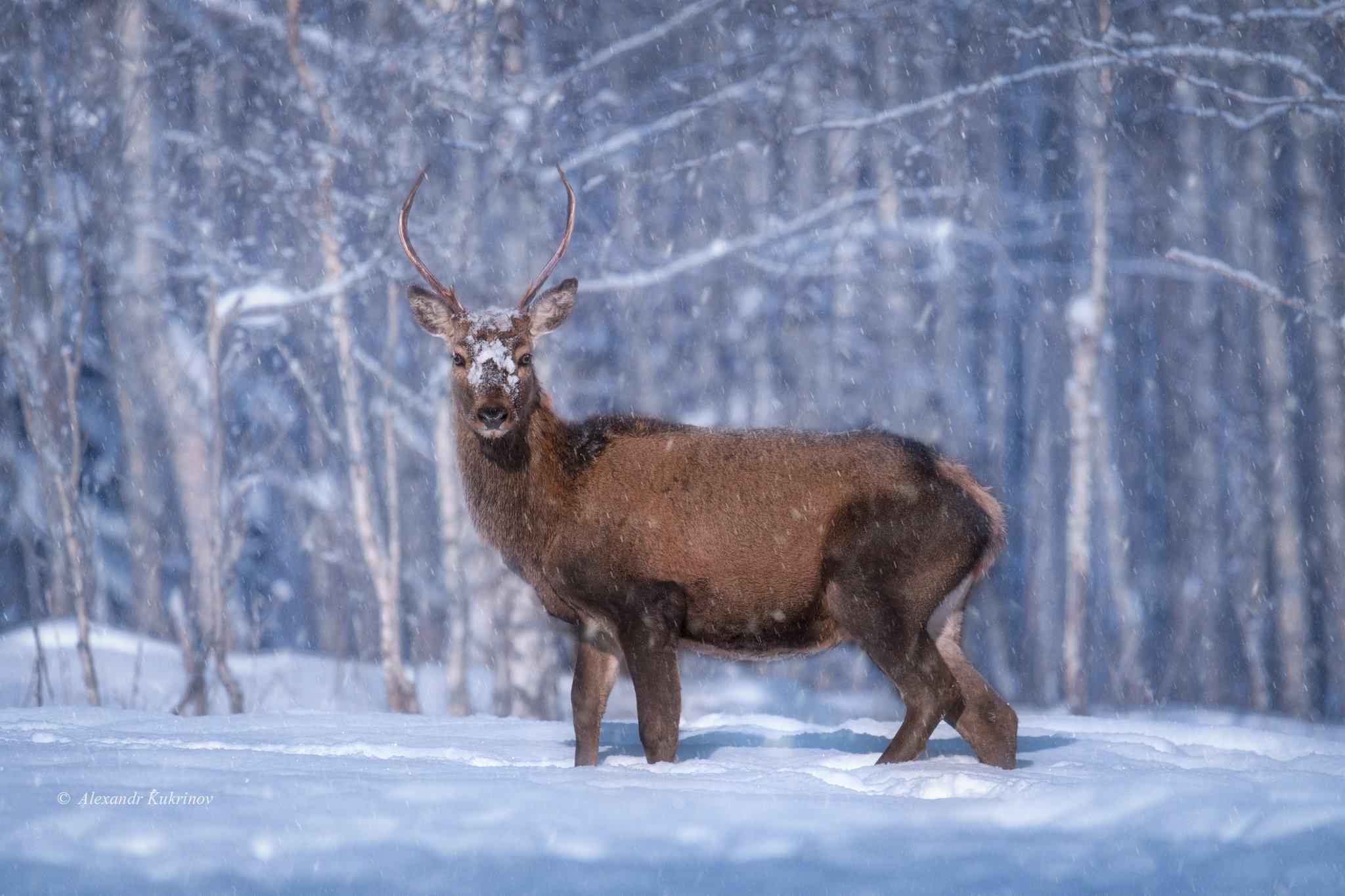 зима, олень, животные, Александр Кукринов