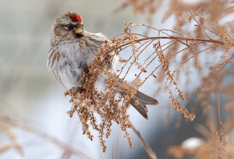 птица чечётка, Сигушин Руслан