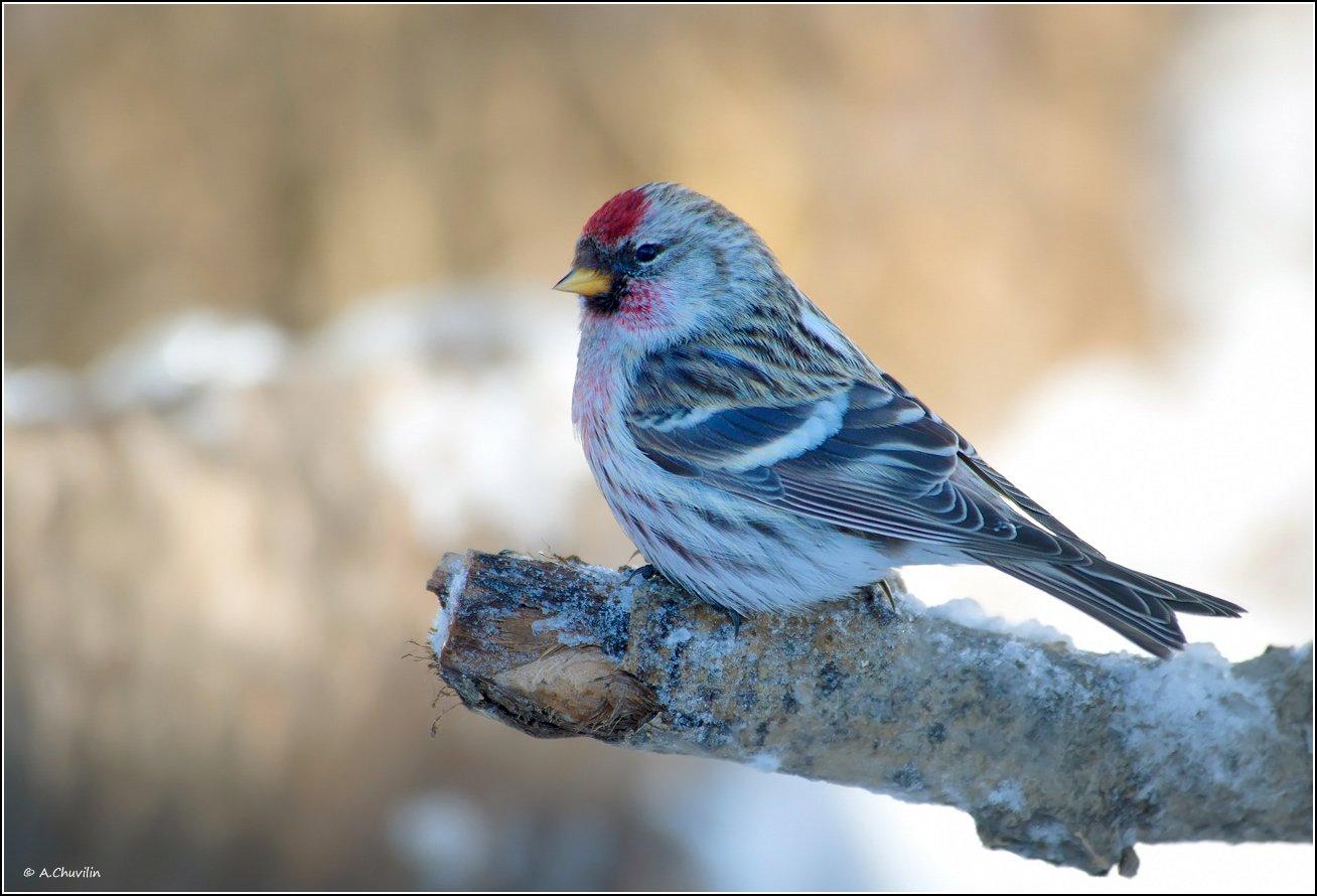 птица,чечётка,зима, Александр Чувилин