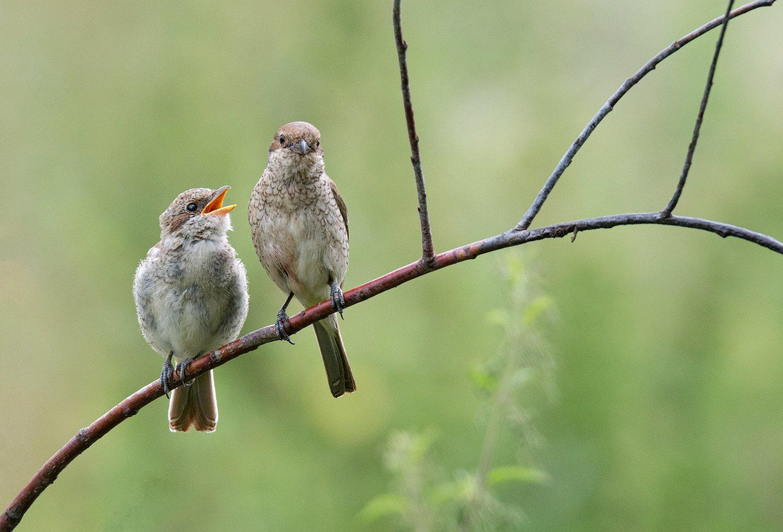 птица сорокопут жулан, Сигушин Руслан