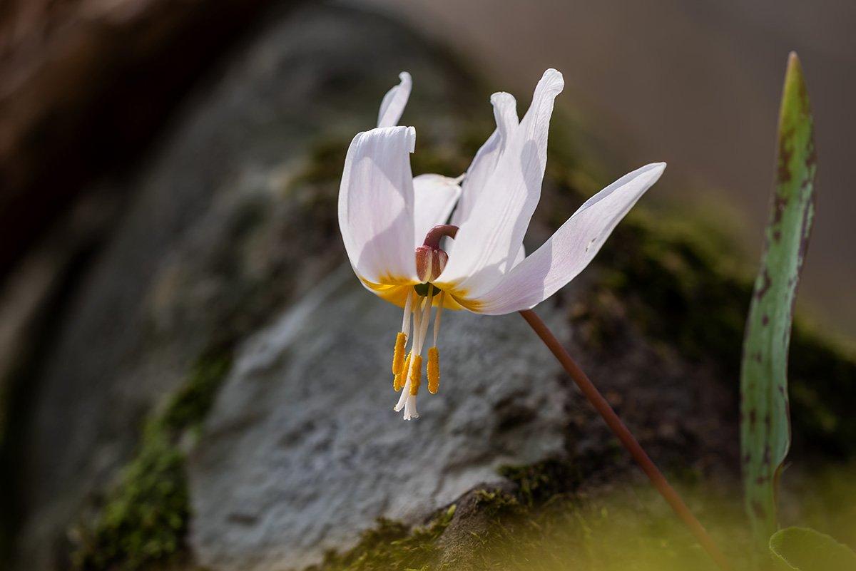 природа, флора, цветы, какндык кавказский, Александр Земляной