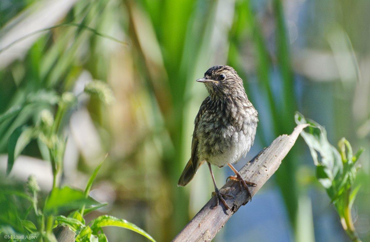 птица, варакушка, слёток, Михаил Агеев