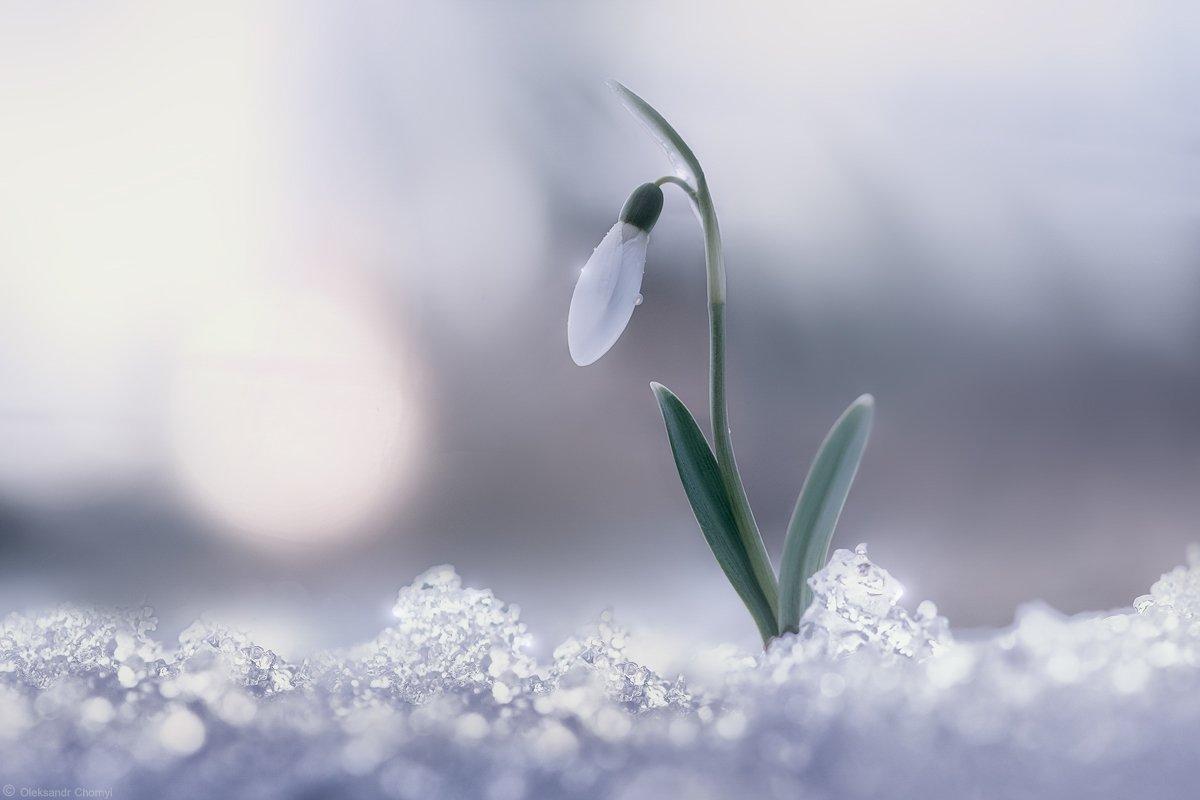 весна, подснежник, нежность, жизнь, радость, свет, солнце, мгновение, цветы, тайна, март, любовь,, Чорный Александр