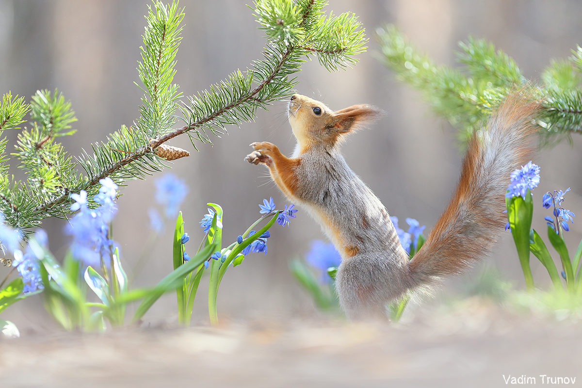белка, весна, squirrel, подснежники, Вадим Трунов
