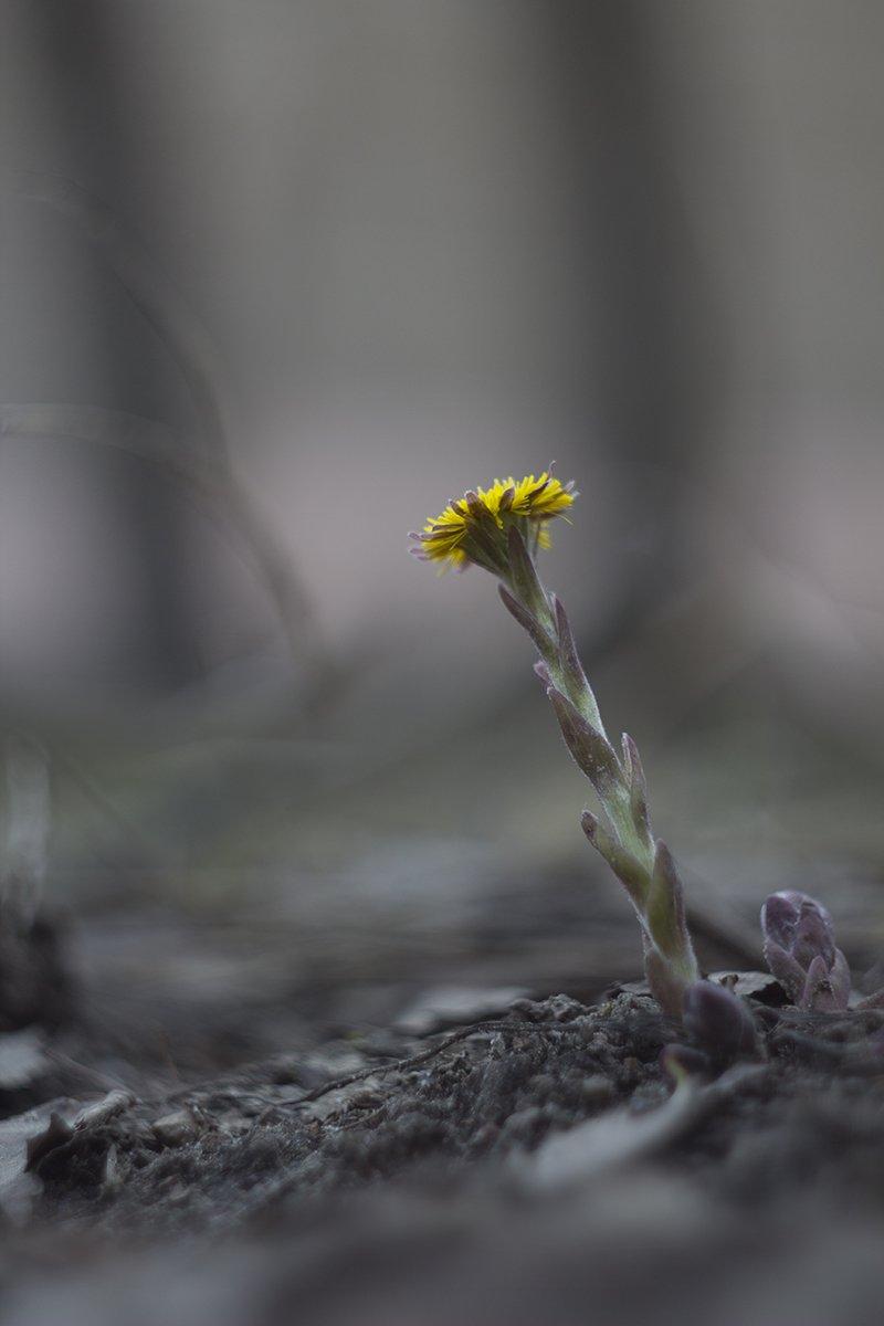первоцветы,мать-и -мачеха, Елена Рубинская