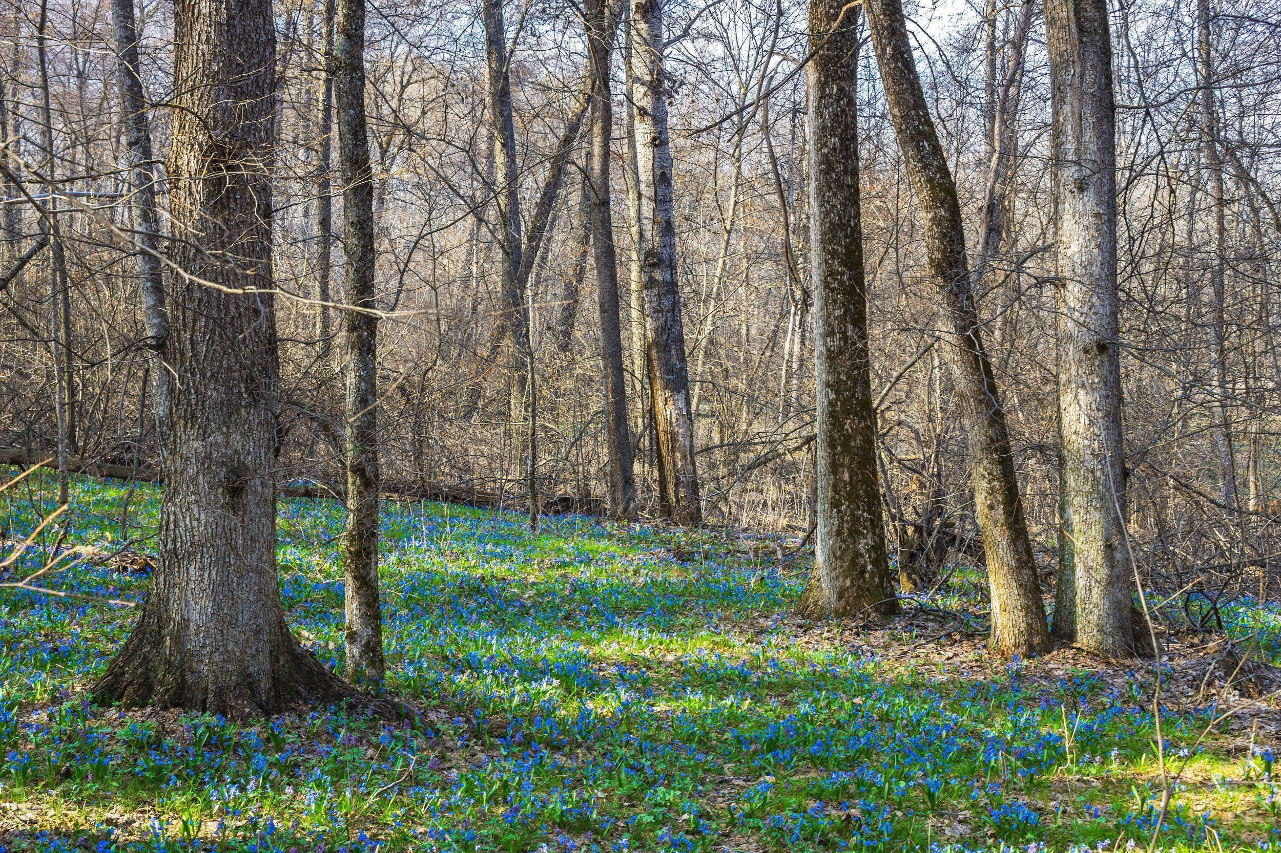пролески, подснежники, первоцветы, лес, воронежский заповедник, весна, Востриков Руслан