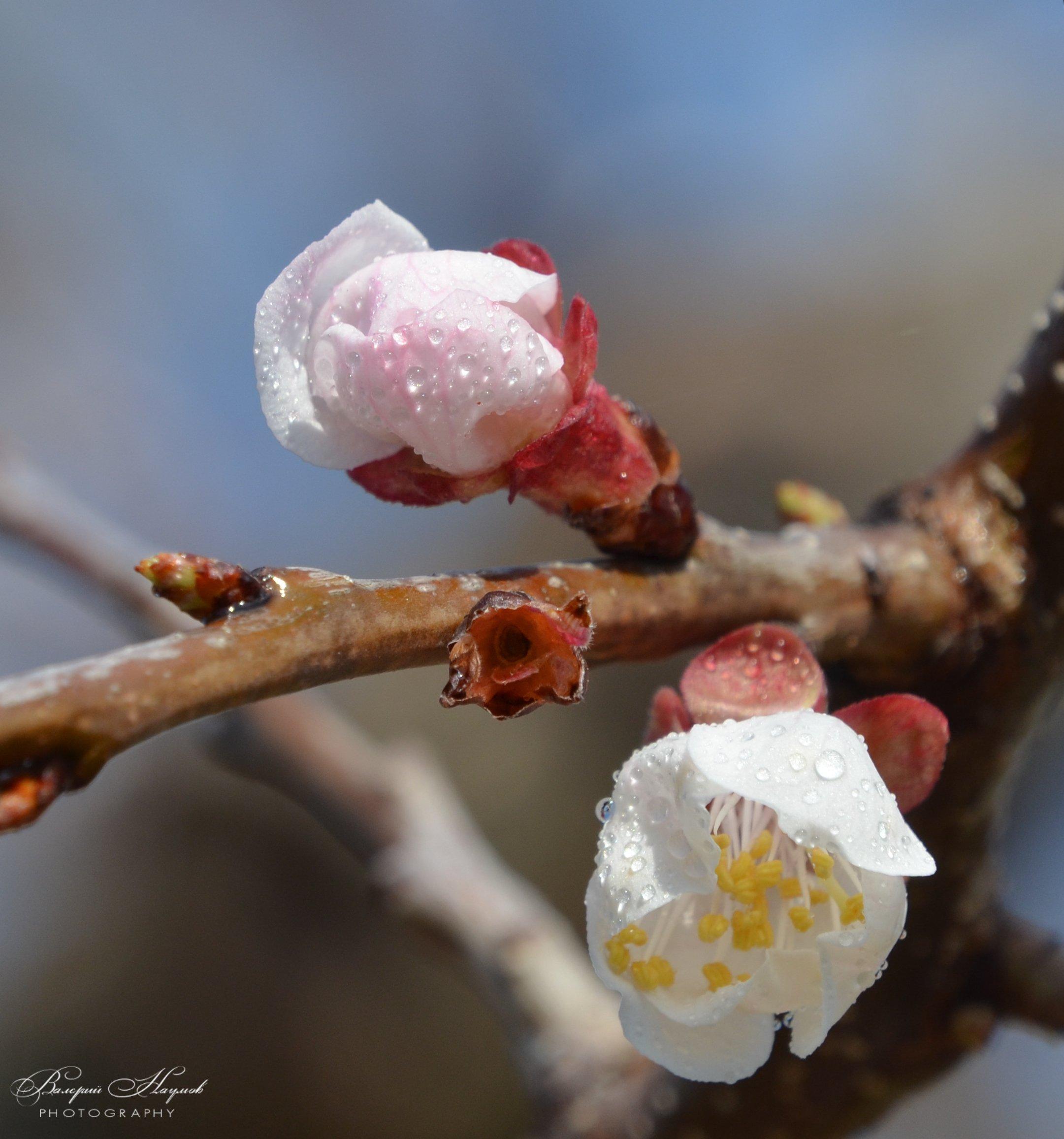 апрель .утро, абрикос. цветение, роса, Валерий Наумов