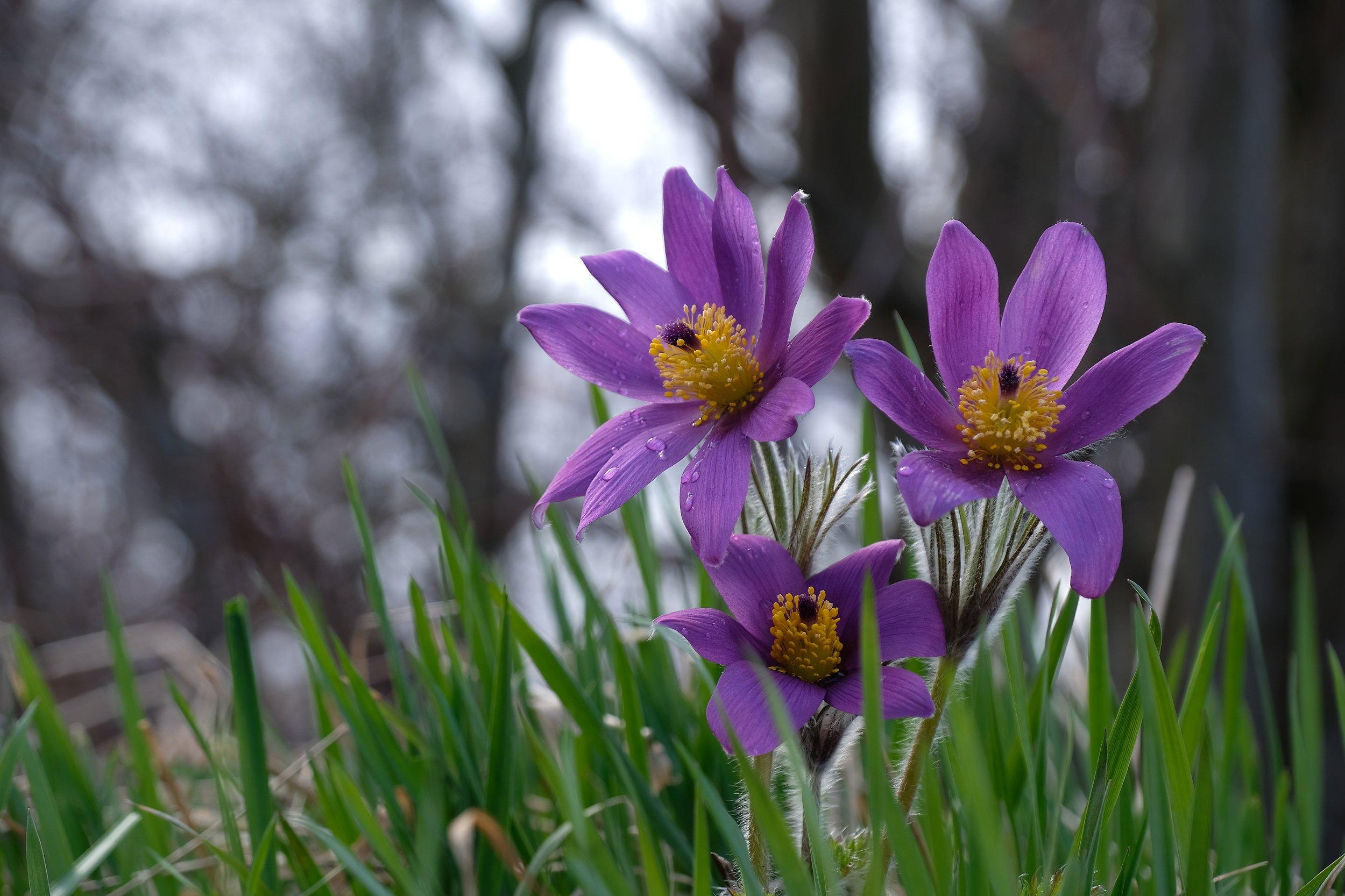 macro, flowers, floral, spring, pulsatilla patens, cutler anemone, norway, nature, purple, forest, water drops,, Povarova Ree Svetlana