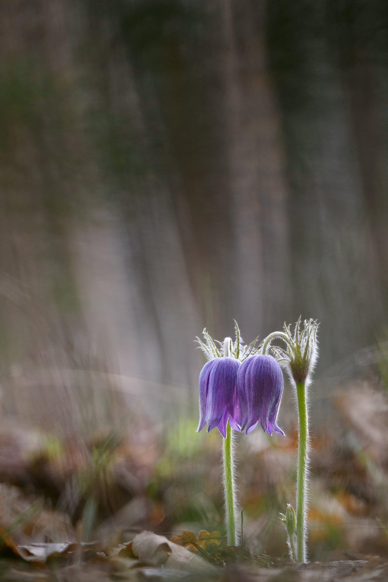 сон-трава, макрофотография, макро, природа, цветы, первоцветы, прострел, nature, macro, macrophotography, Игорь Зубков