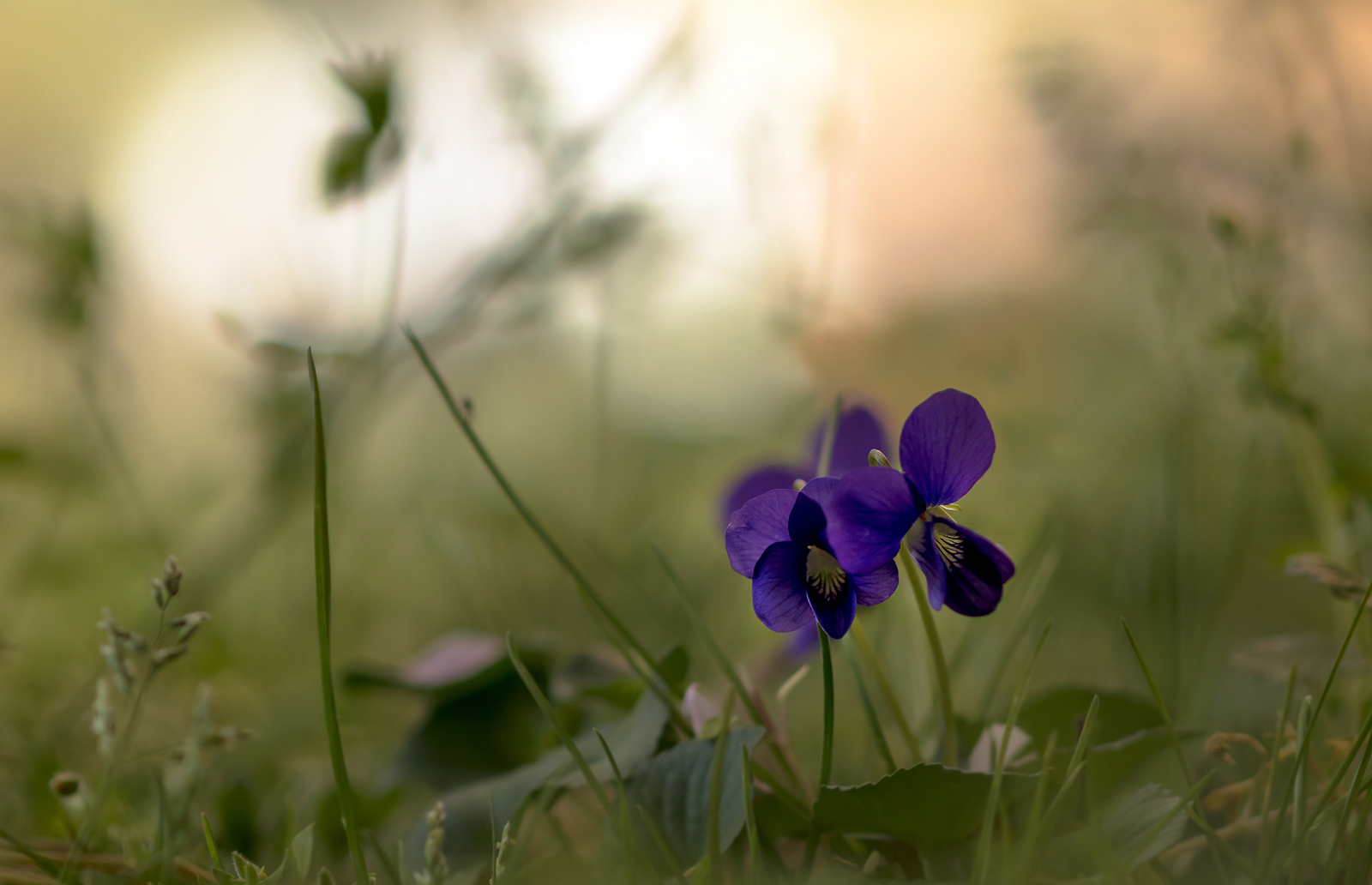 макро,цветы,природа,флора,фиалки,весна,, Антонина Яновска