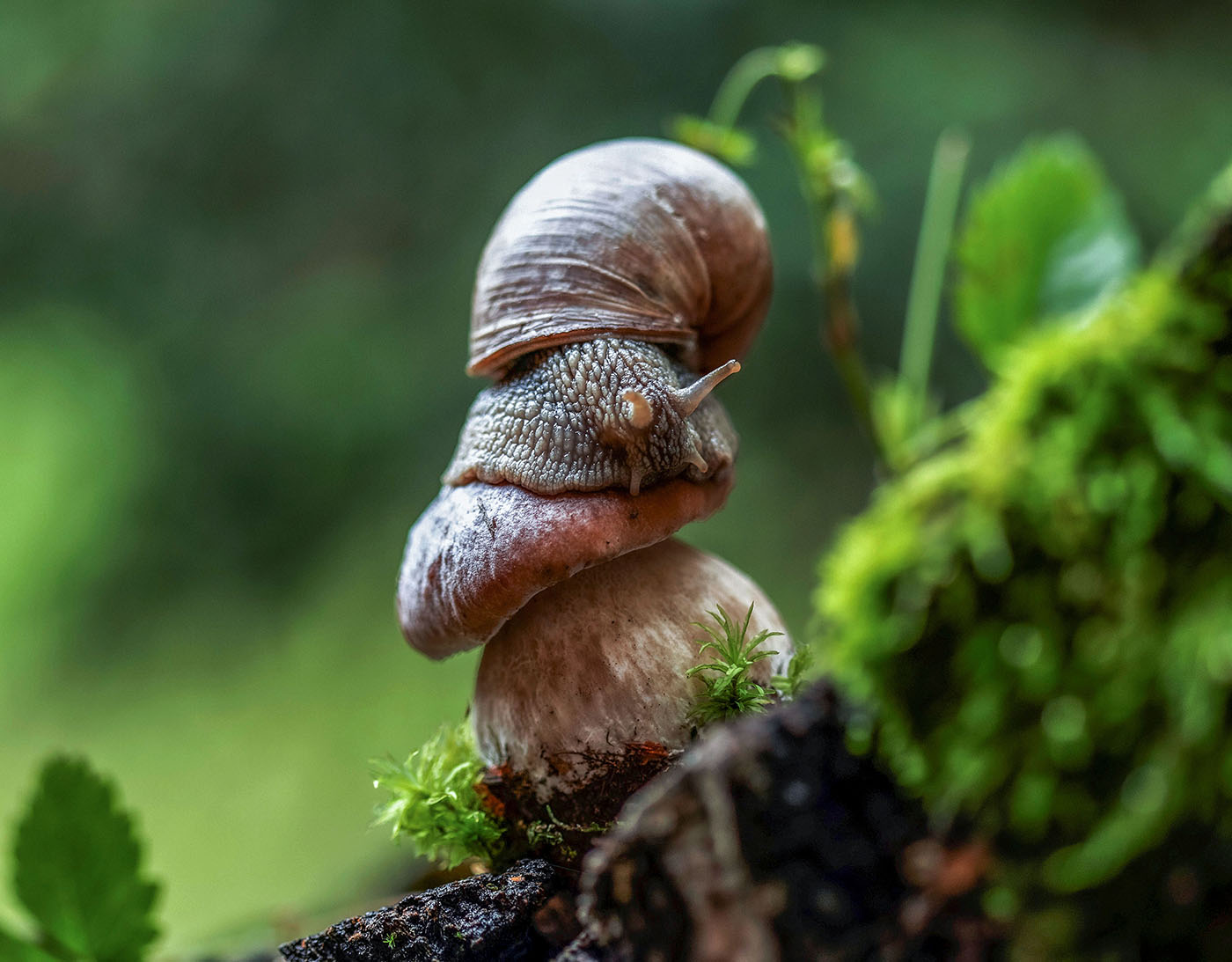 улитка,тихоход, моллюск,гриб, белый,природа, snail, boletus, nature, Стукалова Юлия