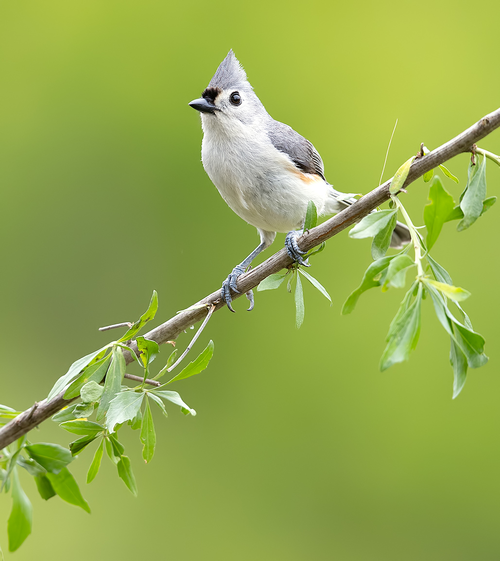 tufted titmouse, острохохлая синица,  синица,  titmouse, Etkind Elizabeth