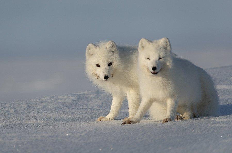 чукотка, арктика, тундра, весна, снег, песец, полярная лиса, Максим Деминов