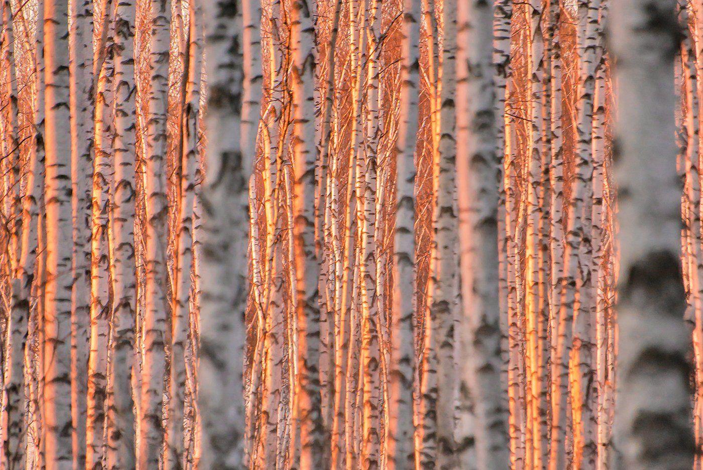 мещёра, рязанская область, березы, весна, закат, березовая роща, Валерий Пешков