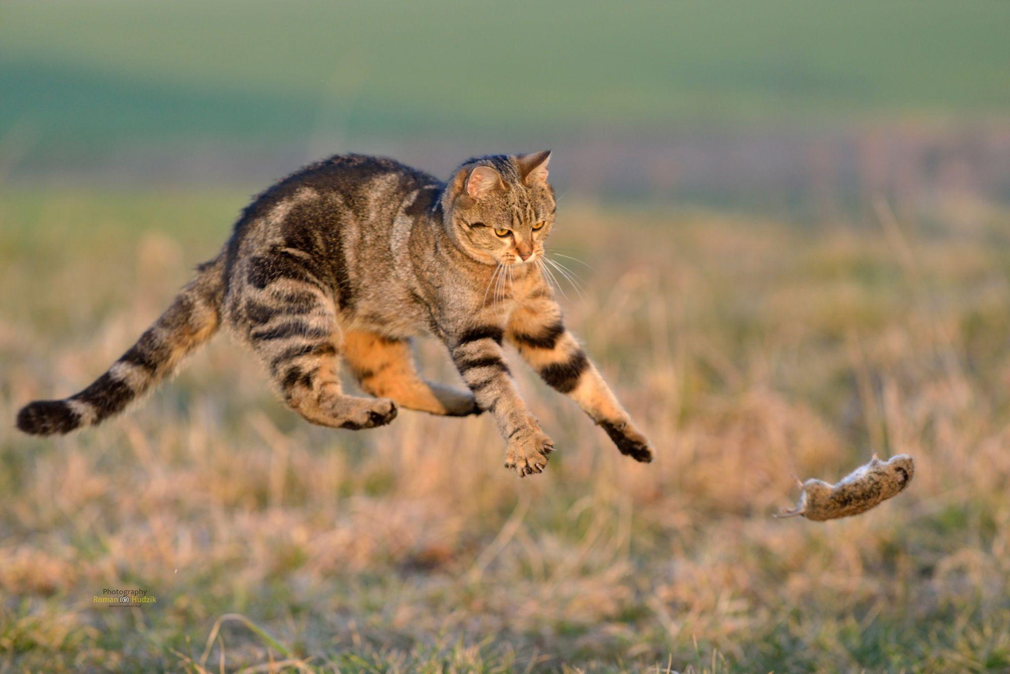 Cat, mouse, fun, hunting, pets,, Hudzik Roman