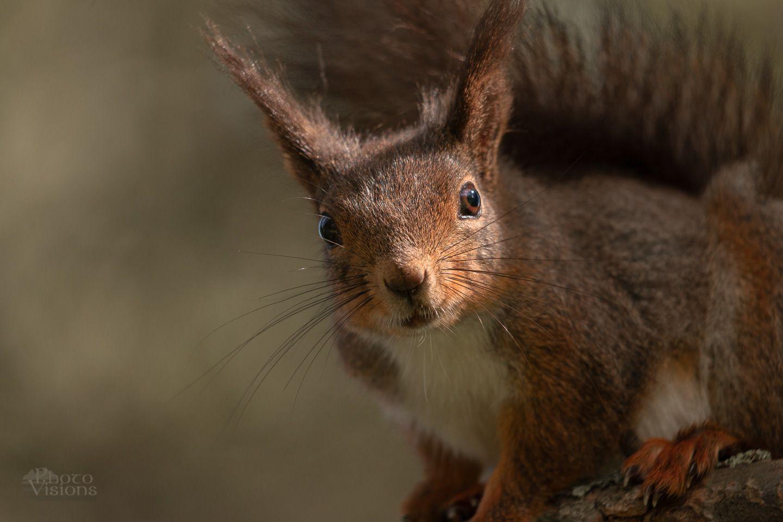 squirrel,animal,wildlife,norway,forest,woodland,, Szatewicz Adrian
