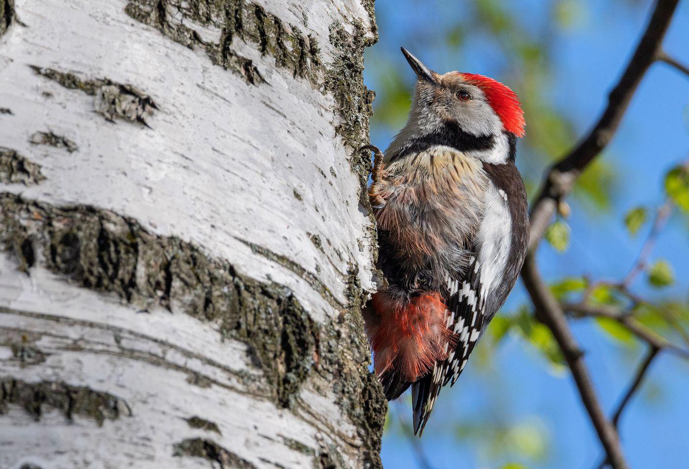 птица средний пёстрый дятел, Сигушин Руслан
