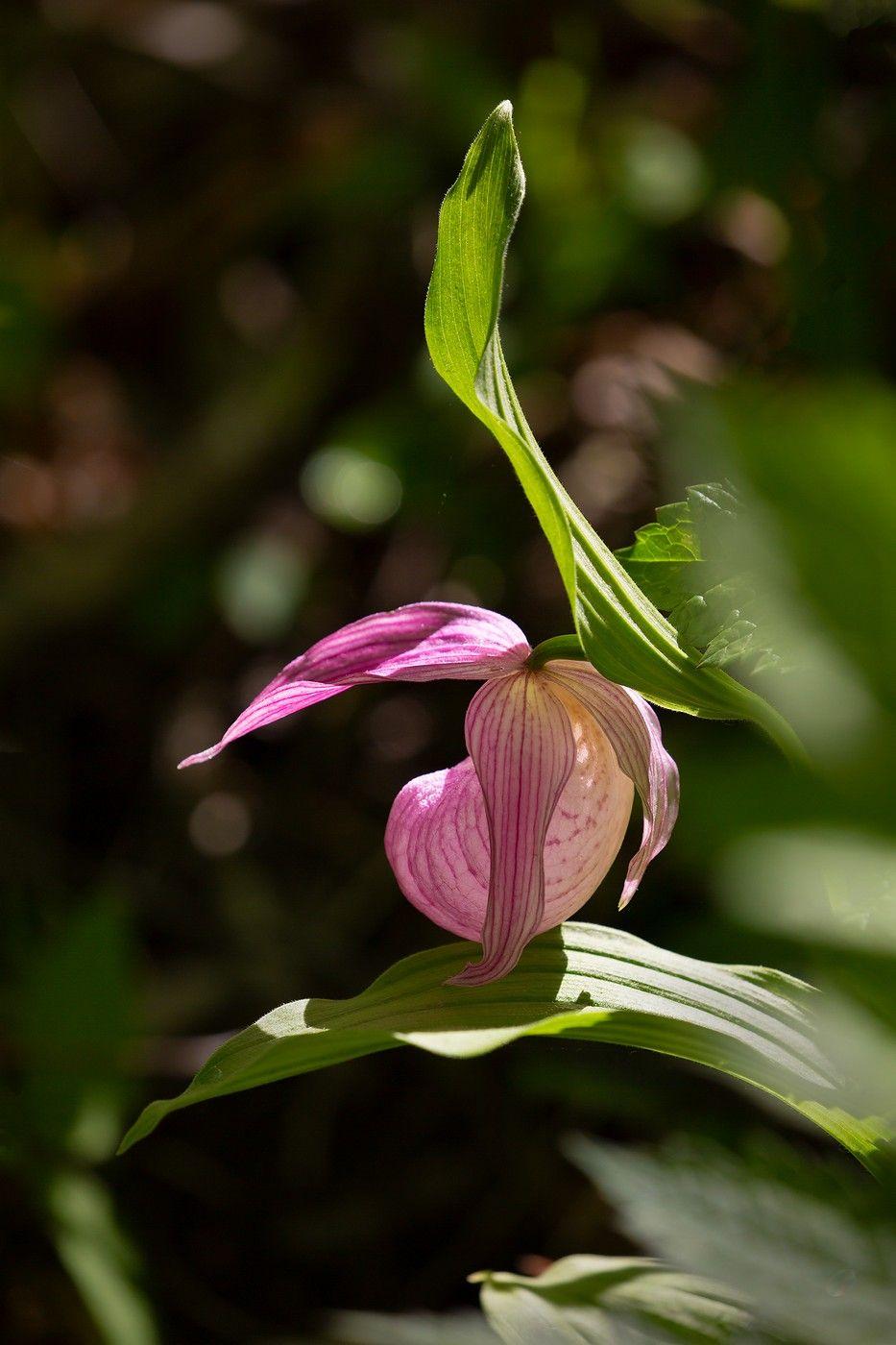 башмачок крупноцветковый владивосток остров русский май, Слободской Евгений