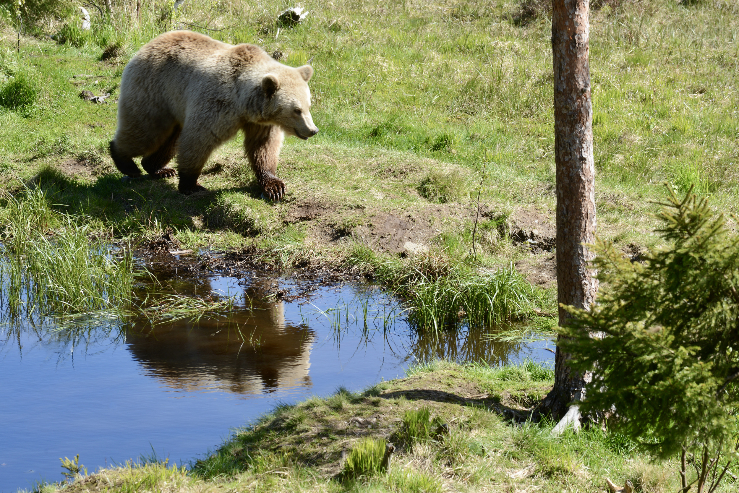 Animals, brown bear, fauna, nature, Norway, summer, water, watering hole, tree, reflection, , Povarova Ree Svetlana