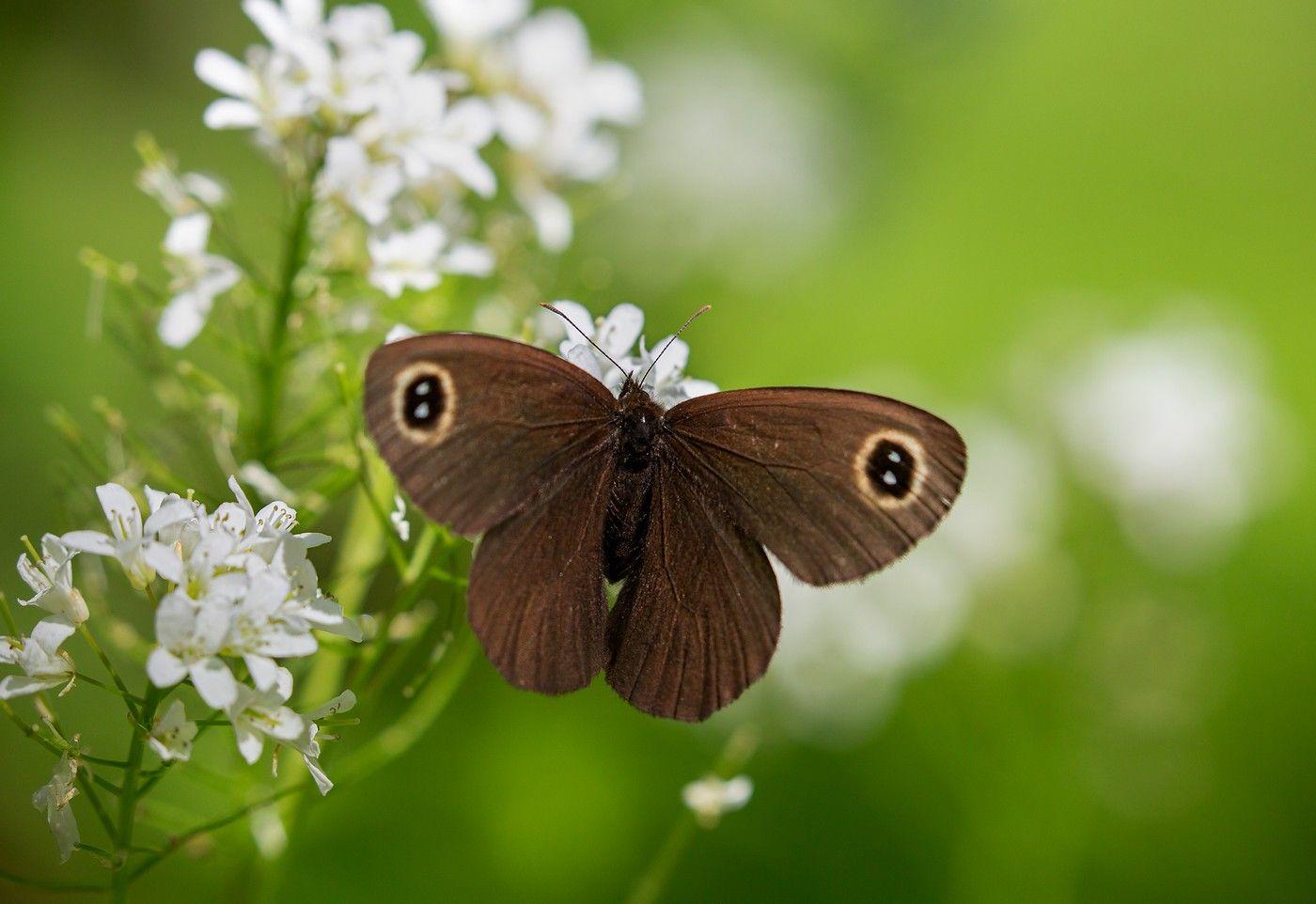 бабочка бархатница май окрестности владивостока, Слободской Евгений
