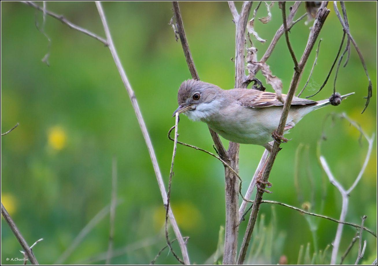 птица,славка,садовая,заботы,гнездо, Александр Чувилин