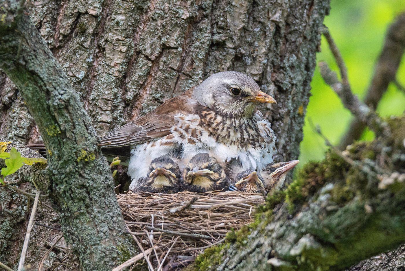 птица дрозд весна, Сигушин Руслан