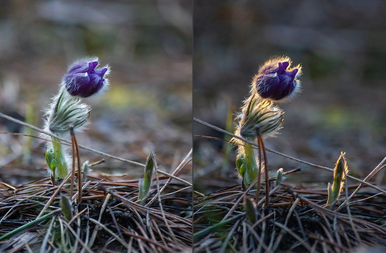 сон-трава, прострел раскрытый, мещёра, рязанская область, весна, закат, Валерий Пешков