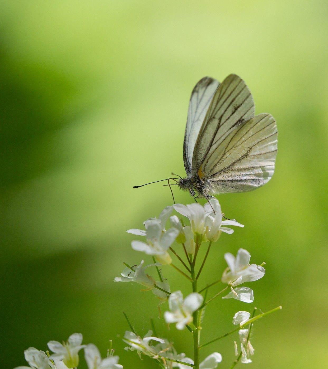 бабочка белянка май, Слободской Евгений