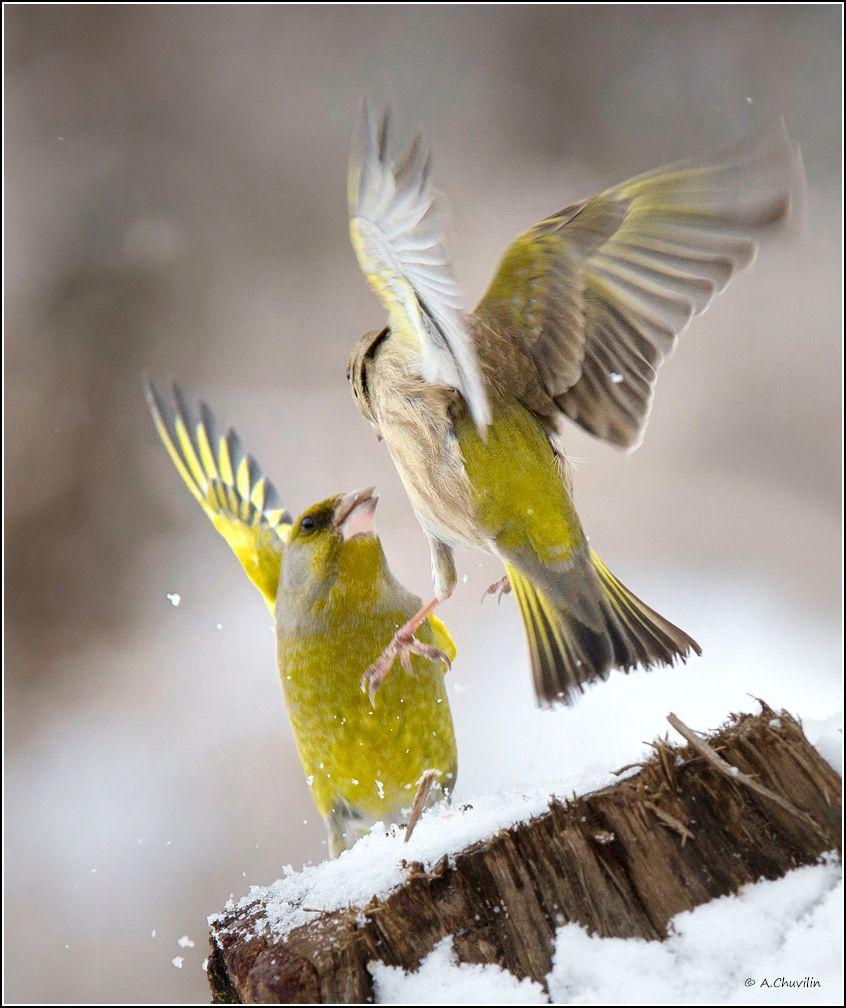 птицы,зеленушки,забияки, Александр Чувилин