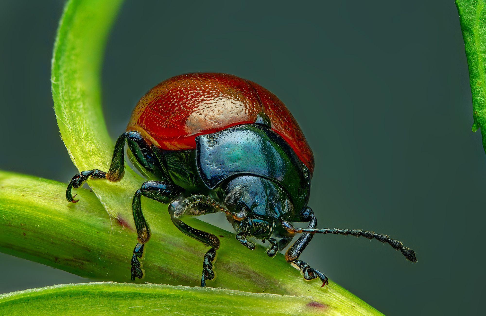 листоед, макро, макрофото, природа, насекомые, лето, сад, огород, Радьков Иван