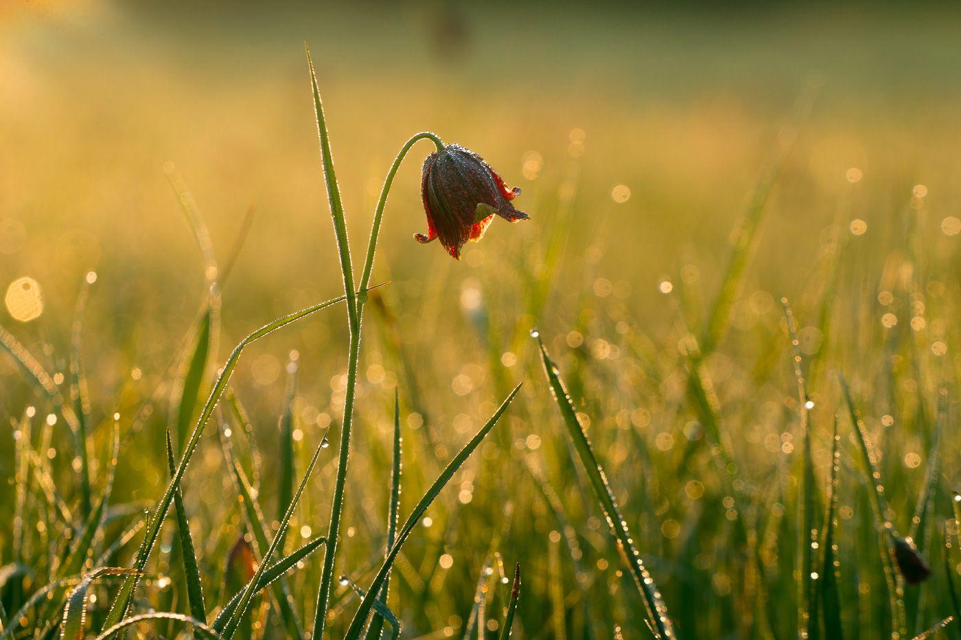рябчик шахматовидный, первоцветы, цветы, flowers, primulas, fritillaria meleagroides, Юденков Алексей