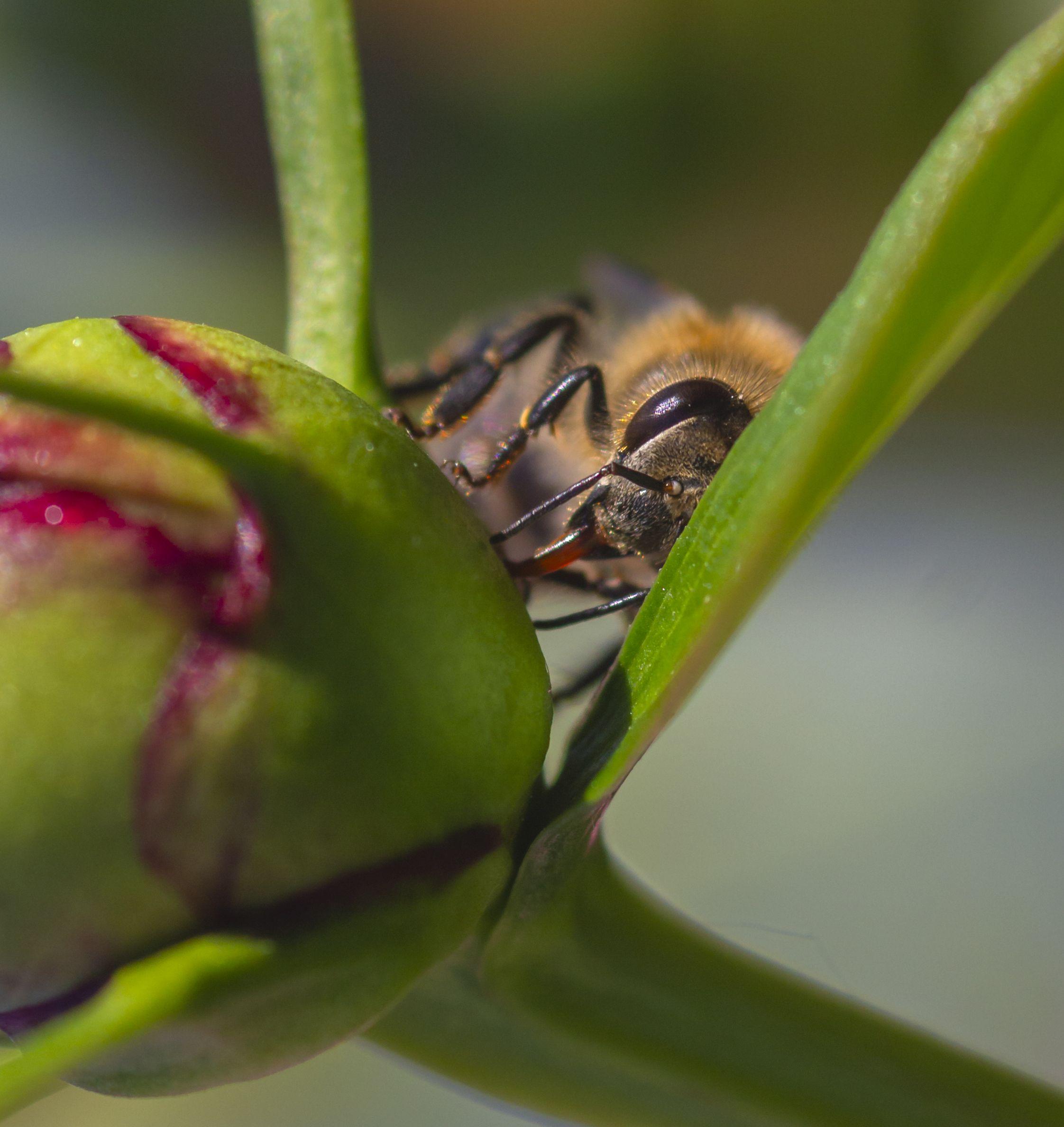 макро, природа, насекомые, пчелы, лето, Александр Кожухов