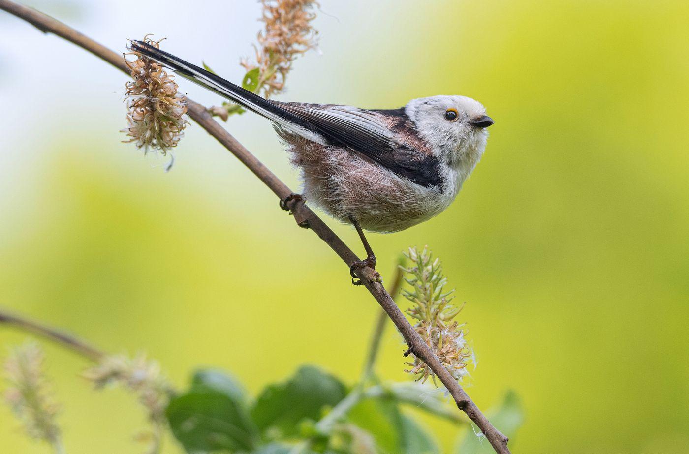 птица длиннохвостая синица ополовник, Сигушин Руслан