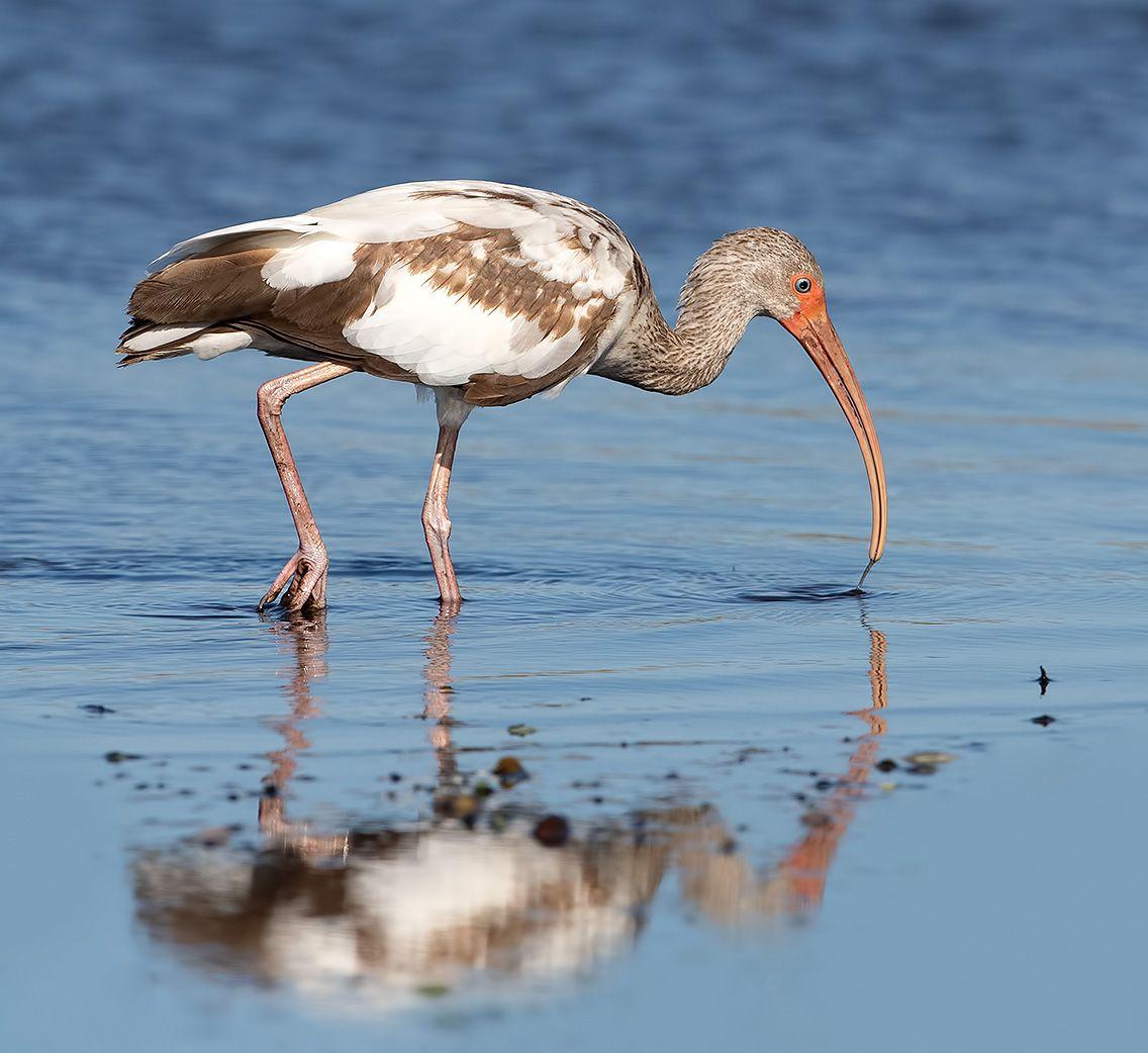 ибис, white ibis, ibis, florida, флорида, Etkind Elizabeth
