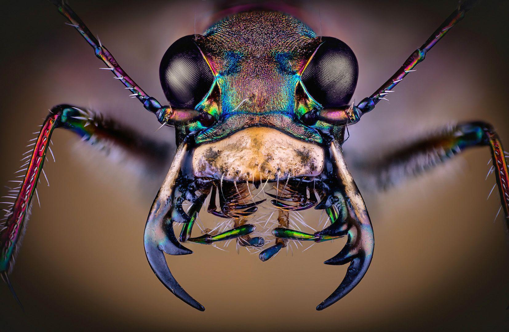 cicindela hybrida, Eugenijus Kavaliauskas