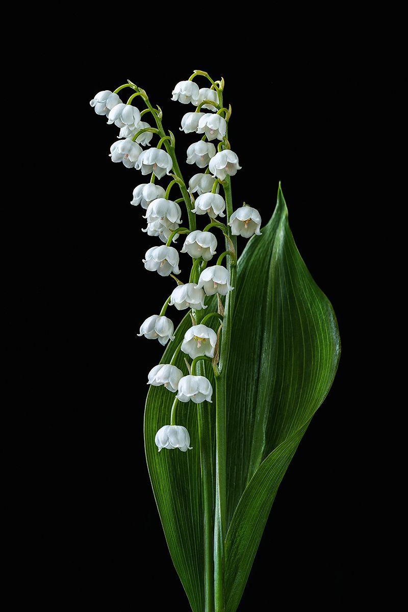 ландыш, ландыши, цветы, цветок, белый, флора, природа, лепестки, цвет, черный фон, минимализм, Ольга ЯR