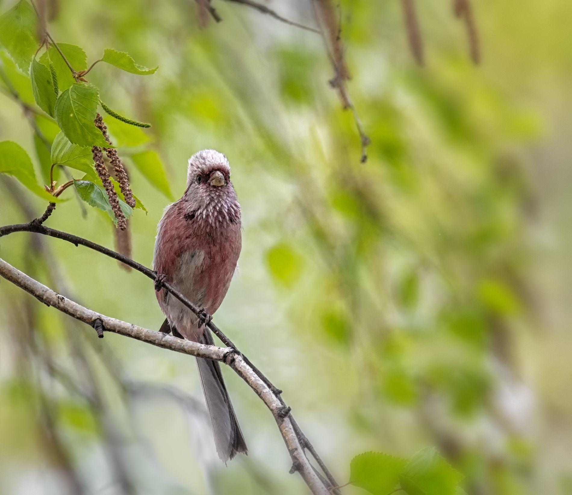 птица, урагус, самец,, Мочалова Марина